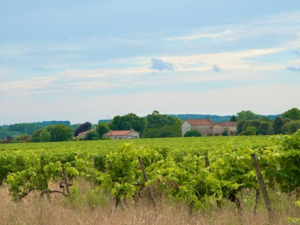Cognac Vines around Villemorin